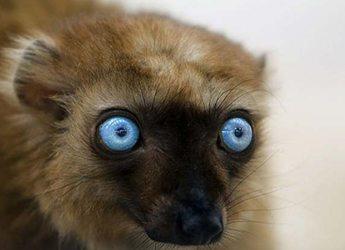 faune endemique madagascar Lémurien aux yeux bleus